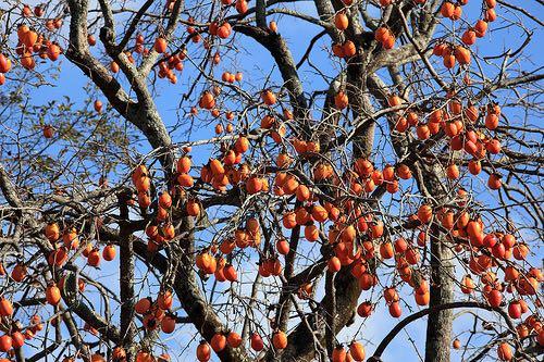 【お気に入り】柿飲めば:法隆寺じゃないけど、うまい!